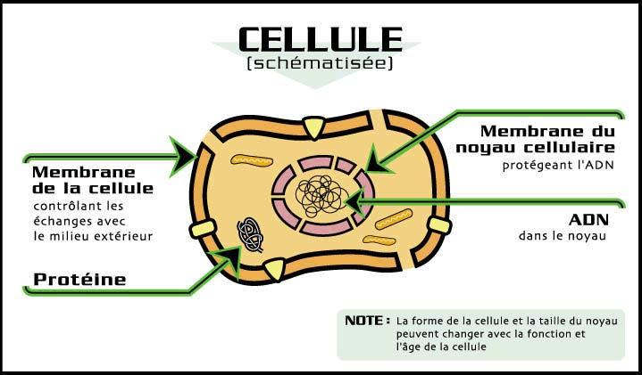Cellule Humaine schéma d'une cellule humaine